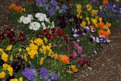 颜色蝴蝶花的 免版税库存照片