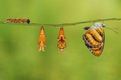 颜色segeant蝴蝶的生命周期垂悬在枝杈的 图库摄影