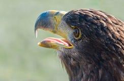 额嘴老鹰开放纵向被盯梢的白色 免版税库存照片