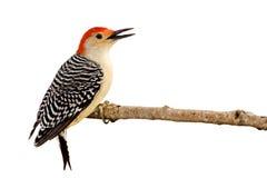 额嘴鼓起的开放配置文件红色啄木鸟 免版税库存照片