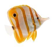 额嘴butterflyf copperband coralfish鱼海军陆战队员 免版税库存图片