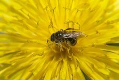额外的迅速移动的蜜蜂 库存图片