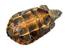 颠倒乌龟的乌龟,设法移交 免版税库存图片