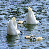 颠倒天鹅的家庭 图库摄影
