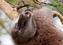 颠倒橄榄色的狒狒在金合欢树 免版税库存图片