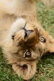 颠倒的嬉戏的非洲幼狮 库存图片