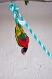 颠倒的彩虹Lorikeet鸟在鸟舍 免版税库存图片