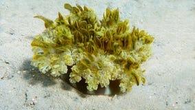 颠倒的水母,Cassiopea仙女座 免版税库存图片