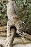 颠倒美洲野猫 免版税库存照片