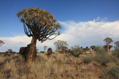 颤抖树在纳米比亚 免版税库存图片