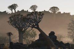 颤抖树森林在早晨尘土期间在基特曼斯胡普Namib 库存图片