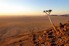 颤抖树(芦荟Dichotoma)在纳米比亚沙漠风景 免版税库存图片