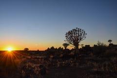 颤抖树- Aloidendron dichotomum 库存图片