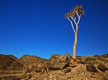 颤抖树- Namaqualand 库存照片