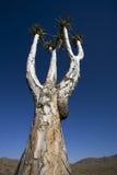 颤抖结构树,非洲。 库存照片