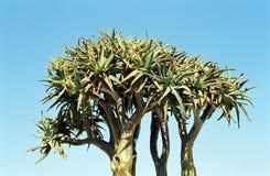 颤抖结构树, Kuisab通过,纳米比亚 免版税库存照片