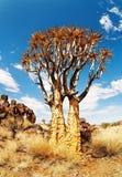 颤抖结构树 库存照片