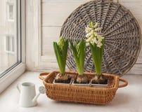 风信花和一把小喷壶在窗口 库存照片
