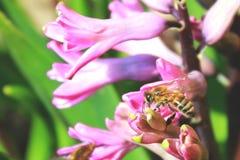 风信花和蜂 免版税图库摄影