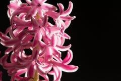风信花开花,非常美丽,特写镜头 免版税库存图片