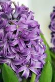 紫色风信花-春天   免版税图库摄影