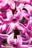 风信花桃红色惊奇和紫罗兰色荷兰风信花 下雨 免版税库存图片