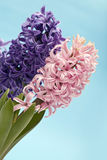 风信花桃红色紫色 库存图片