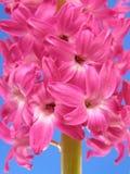 风信花粉红色 库存图片