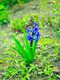 风信花美丽的蓝色花  库存图片