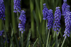 风信花花和蜂在冬天 库存图片
