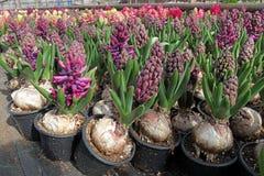 风信花 五颜六色的春天的领域自阳光的温室开花罐的风信花植物有电灯泡的待售 蝴蝶下落花卉花重点模式黄色 图库摄影