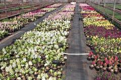 风信花 五颜六色的春天的领域自阳光的温室开花风信花植物待售 背景hyac纹理照片  库存照片