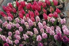 风信花 五颜六色的春天的领域自阳光的温室开花风信花植物待售 背景hyac纹理照片  图库摄影