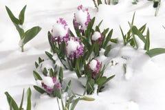 风信花hyacinthus 库存照片