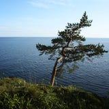风倾斜的杉树 Ladoga湖Valaam 免版税库存图片