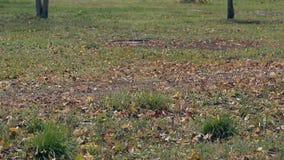 风吹横跨绿草的干燥叶子在大草坪 股票视频