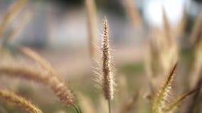 风吹野生植物在日落,使背景图象模糊 影视素材