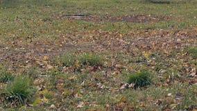 风在公园吹在草灌木中的落叶在草坪 股票视频