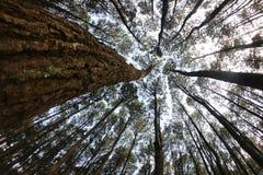 风在杉木森林里摩擦 库存图片