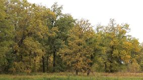 风在秋天森林里震动树的分支 股票录像