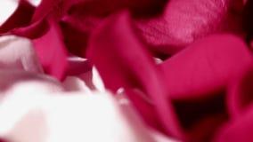 风在花,玫瑰的瓣在白色背景的桌上吹说谎 股票视频
