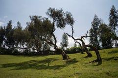 风弯曲的树,远足在Simien山,埃塞俄比亚 免版税库存照片