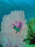 风扇珊瑚 库存图片