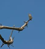风扇自由孑然被盯梢的鸣鸟 免版税库存图片