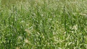 风搅动草 自然在夏天 影视素材