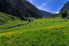 风景与绿色草甸和吃草母牛的田园诗山在Stilluptal提洛尔奥地利 库存图片