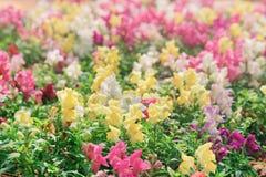 风景五颜六色的snapdragon在庭院里开花金鱼草属 库存图片