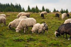 风景全景与绵羊牧群的在山的绿色牧场地吃草 库存图片