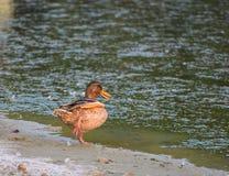 风景公园Strunjan 由海的野鸭 免版税库存照片