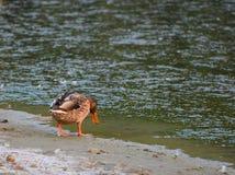 风景公园Strunjan 由海的野鸭 库存照片